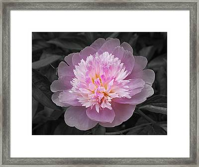 Flowering Spring Peony In Pink And Grey Framed Print by Garth Glazier