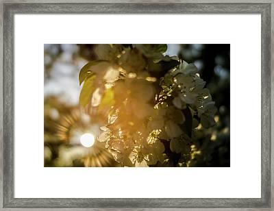 Flowering Tree At Sunrise Framed Print by Sven Brogren