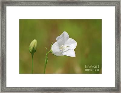 Flowering White Balloon Flower In A Garden  Framed Print
