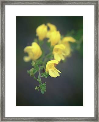 Flowers Of Yellow Bush Penstemon Framed Print by Alexander Kunz