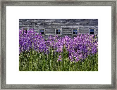 Flowers - Windows In Weathered Barn Framed Print by Nikolyn McDonald