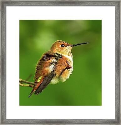 Fluff Ball Framed Print by Sheldon Bilsker