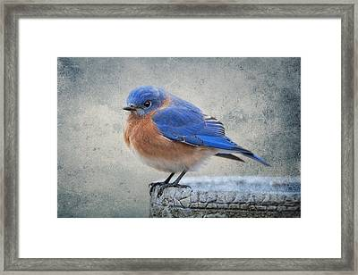 Fluffy Bluebird Framed Print by Bonnie Barry