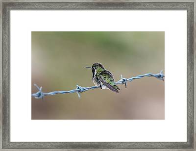 Fluffy Hummingbird Framed Print