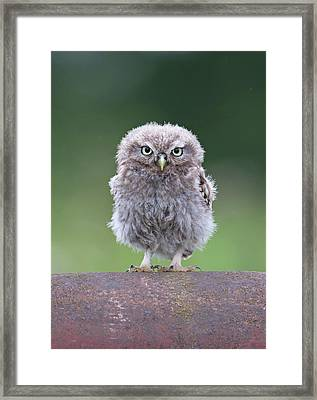 Fluffy Little Owl Owlet Framed Print