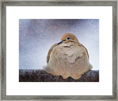 Fluffy Mourning Dove Framed Print