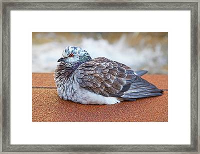 Fluffy Pigeon Framed Print