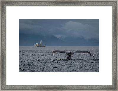 Fluke And A Fishing Boat Framed Print by Wild Montana Images
