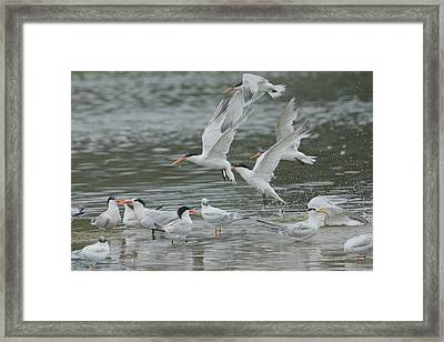 Flurry Of Wings Framed Print by Fraida Gutovich