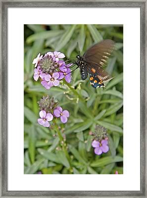 Fluttering Framed Print by Charlie Osborn