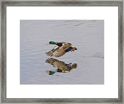 Fly And Reflect Framed Print by Robert Pearson