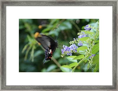 Fly In Butterfly Framed Print