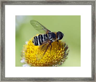 Fly On Flower Framed Print