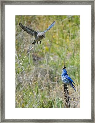 Flyby Flirt Framed Print by Mike Dawson