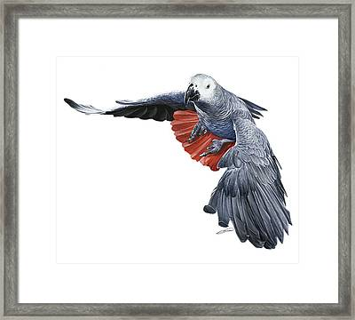 Flying African Grey Parrot Framed Print by Owen Bell