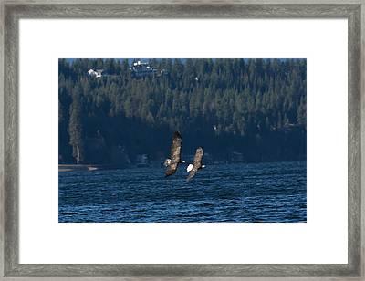 Flying Bald Eagles Framed Print