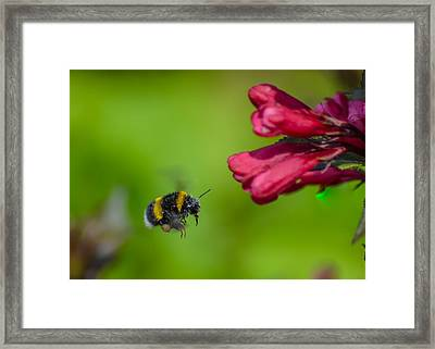 Flying Bumblebee Framed Print by Rainer Kersten