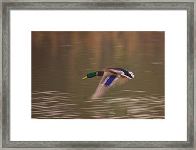 Flying Duck Framed Print