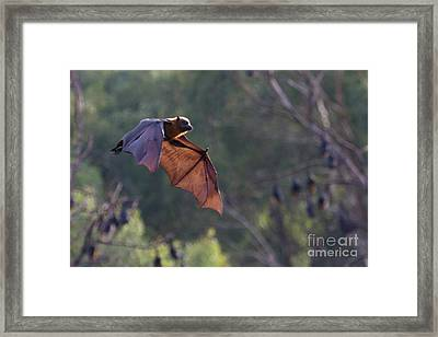 Flying Fox In Mid Air Framed Print by Craig Dingle