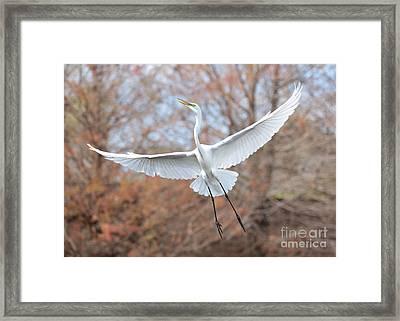 Flying Great Egret In Brown Framed Print