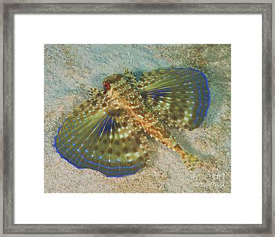 Flying Gurnard On Sand In Carribean Sea Framed Print by Karen Doody