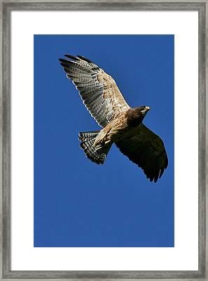 Flying Hawk Under A Blue Sky Framed Print