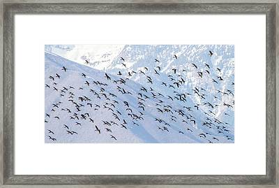 Flying High - White Faced Ibis Framed Print by TL Mair