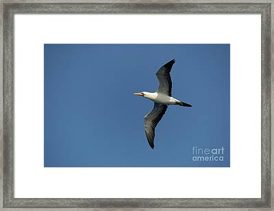 Flying Masked Booby In Flight Framed Print by Sami Sarkis