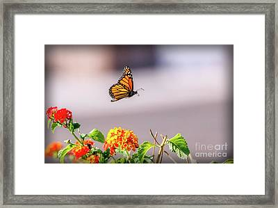 Flying Monarch Butterfly Framed Print