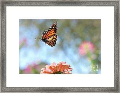 Flying Monarch Framed Print by Steve Augustin