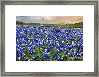 Bluebonnet Fields Forever Framed Print by Inge Johnsson
