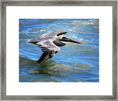 Flying Pelican Framed Print