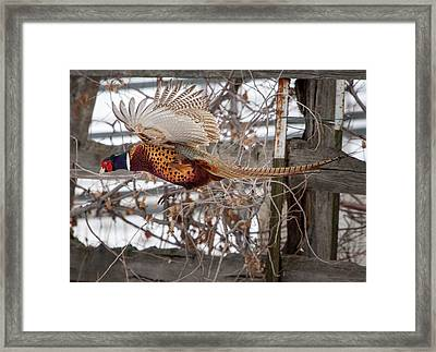 Framed Print featuring the photograph Flying Pheasant by Wesley Aston