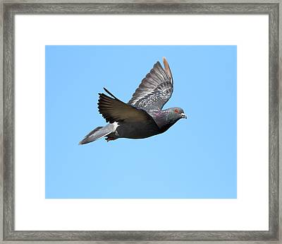 Flying Pigeon . 7d8640 Framed Print by Wingsdomain Art and Photography