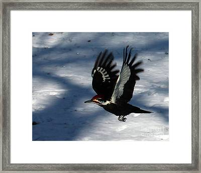 Flying Pileated Woodpecker Framed Print