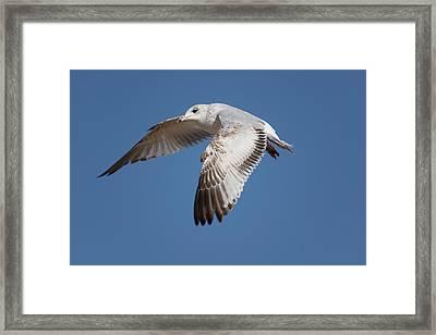 Flying Seagull Framed Print