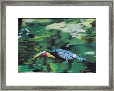 Flying Toucan In Costa Rica Framed Print