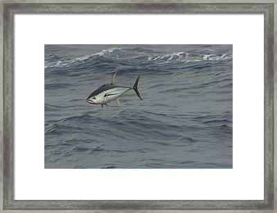 Framed Print featuring the photograph Flying Tuna by Bradford Martin
