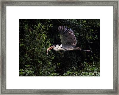 Framed Print featuring the photograph Flying With Lunch by Wade Aiken