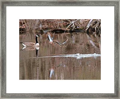 Flying Wood Ducks And Canada Goose Framed Print