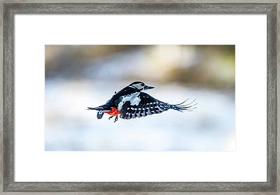 Framed Print featuring the photograph Flying Woodpecker by Torbjorn Swenelius