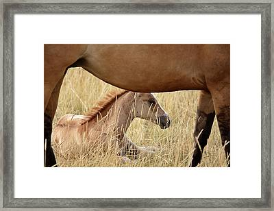Foal And Mare In A Saskatchewan Pasture Framed Print