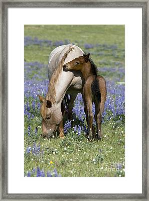 Foal Playing With Its Mother Framed Print