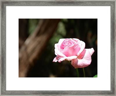 Focal Rose Framed Print by Stephen Williams