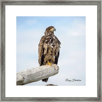 Focused Eagle Framed Print