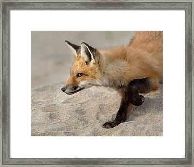 Focused Fox Framed Print