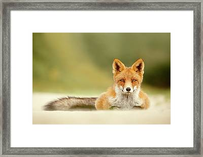Focused Fox Framed Print