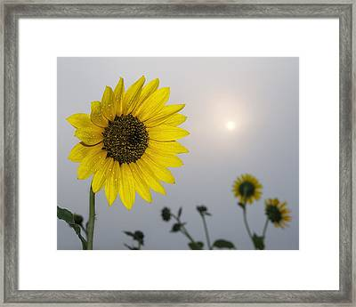 Foggy Sunflowers Framed Print