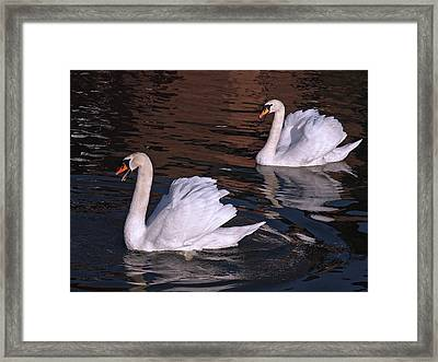 Follow Me - Pair Of Mute Swans - Wings Up Framed Print by Gill Billington