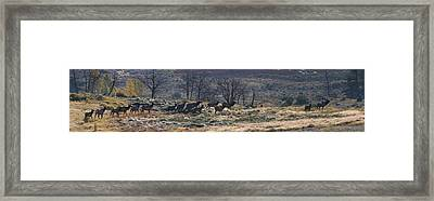 Follow The Leader - Elk In Rut Framed Print